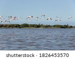 Flamingos Fly Over Calm Water...
