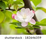 flowering crabapple  malus... | Shutterstock . vector #182646359