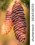 Two Pine Cones Hanging On A Fir ...