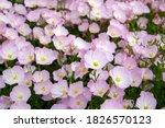 Pink Evening Primrose Flowers ...