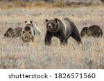 The famous Grizzly Bear 399 and her cubs grazing in a field in Grand Teton National Park (Wyoming).