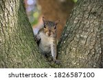 Cute Gray Little Squirrel At...