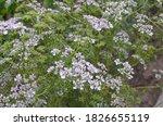 Coriander Flower Blooming In...
