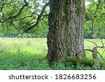 Trunk Of An Old Oak Next To A...