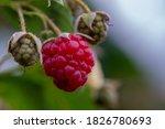 Small photo of raspberry redo for harvesting good