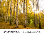 Beautiful Yellow Birch Forest...