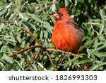 A Male Northern Cardinal Is...