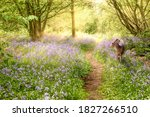 Deer In Bluebell Forest In...