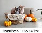 Pair Of Canadian Sphynx Kittens ...