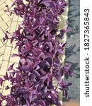 Tradescantia Palida Or Purple...