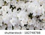 White Azalea Flower Blooming...