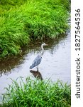 Gray Heron On The Hunt In A...