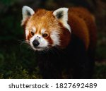 Red Panda Or Ailurus Fulgens Or ...