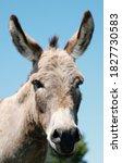Mini Donkey Portrait Close Up...
