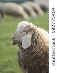 a side portrait of a wooly... | Shutterstock . vector #182775404
