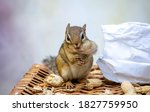 Little Chipmunk Poses With A...