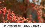 Branch Of Thunberg Barberry...