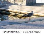 Gray Feathered Seagull Bird Is...