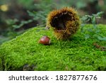 Chestnut On The Stump In The...