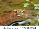 Frog In A Shallow Water