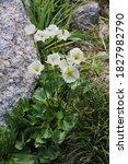 Small photo of Ranunculus crenatus, Crenate Buttercup. Wild plant shot in summer.