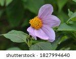 Purple Color Wild Flower Whose...