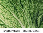 Fresh Chinese Cabbage Or Napa...