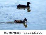 Eurasian Coot And Chick With...