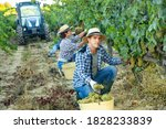 Young Man Winemaker Picking...