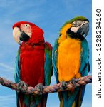 Blue And Yellow Macaw And A...