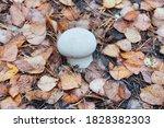 White Mushroom Of Lycoperdon...