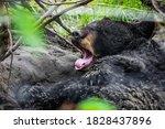 Cute Looking Black Bear Getting ...