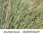 Glaucous Cereal Plant With...