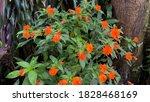 New Guinea Impatiens Flower...