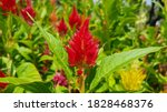 Red Celosia Flowers. Colorful...