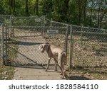 Weimaraner Dog Waiting At A...