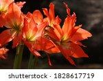 Amaryllis Flower  Amaryllis Sp...