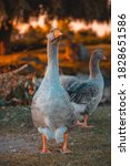 Geese Walking In The Park At...