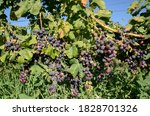 Red Wine Grapes Ready For...