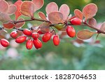 Amazing Branch Of Barberry With ...