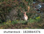 Fallow Deer  Dama Dama  In Its...
