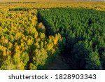Yellow Birch Forest And Green...