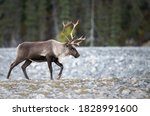 Mountain Caribou In The Wild