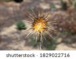 Dried Milk Thistle. Silybum...