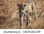 Leopard female walking  in a Game Reserve in the Greater Kruger Region in South Africa - stock photo