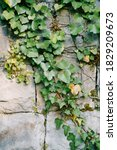 Evergreen Ivy On A Stone Wall...