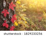 Beautiful Autumn Red Boston Ivy ...