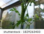 Tomato Hornworm Caterpillar On...