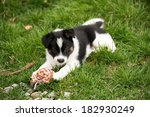 Stock photo small fluffy puppy playing outside with rope ball on green grass 182930249