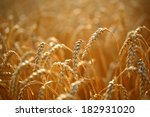 golden ears of wheat on the... | Shutterstock . vector #182931020